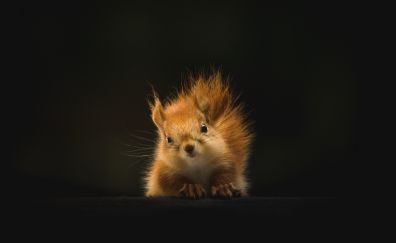 Cute, red rodent, squirrel, 5k