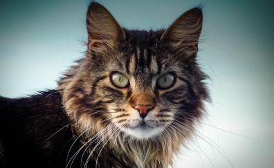 Maine coon, cat, fur, muzzle, eyes