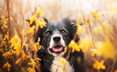 Border collie, muzzle, dog, meadow, plants