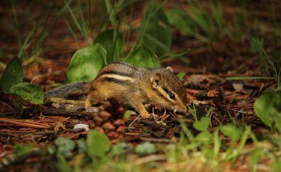Squirrel, Chipmunk, cute animal