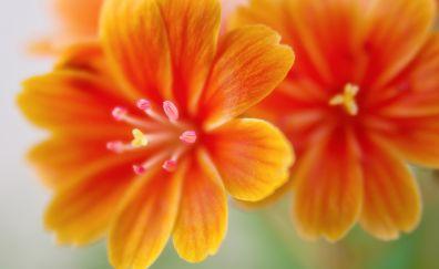 Lewisia flowers, orange flowers, close up