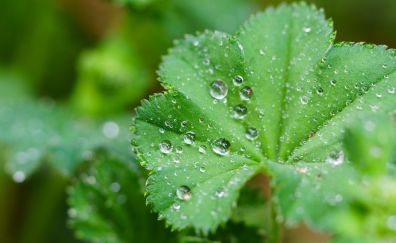 Green leaves, water drops, close up