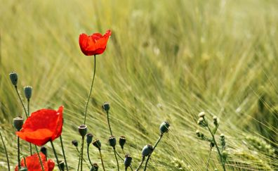 Plants, meadow, grass, red poppy