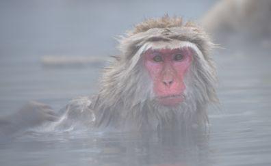 Japanese macaque, monkey, bath, face