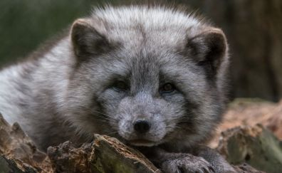 Arctic fox, sit, relaxed, muzzle
