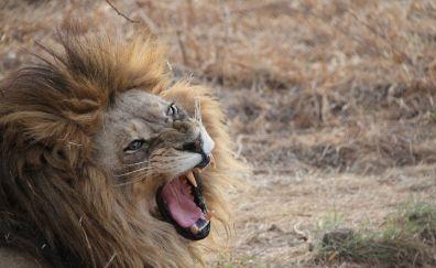 Angry lion, furry, meadow, roar
