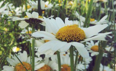 White Daisies flower field