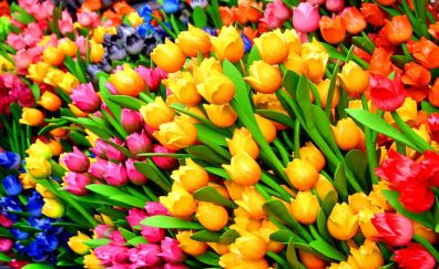 Tulips colorful flowers