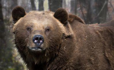 Big bear, furry animal, wildlife