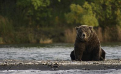 Bear, wild animal, predator, sitting, wildlife