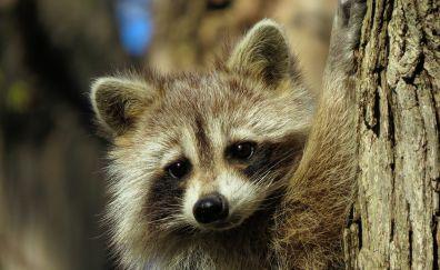 Cute animal, raccoon muzzle