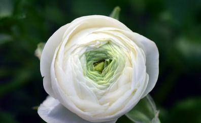 Ranunculus, buttercup, white flower