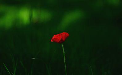 Beauty, single flower, poppy