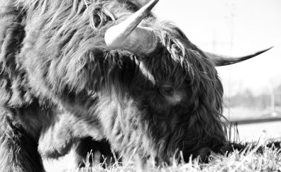 Monochrome, yak, furry animal, horns