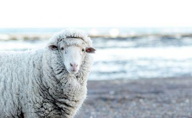 White sheep animal