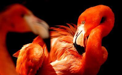 Water birds, beak, feathers, flamingo