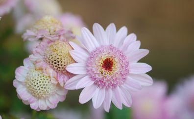 Dahlia, flowers, light pink, bloom