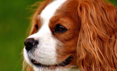 Cavalier King Charles Spaniel, cute dog, muzzle