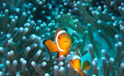 Clownfish, underwater, fish, aquarium