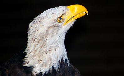 White-tailed eagle, muzzle, predator