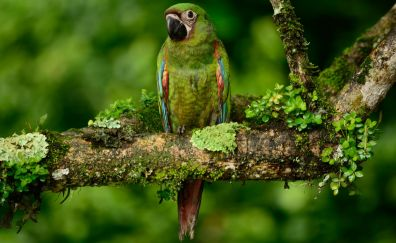 Green macaw, bird, tree branch, parrot