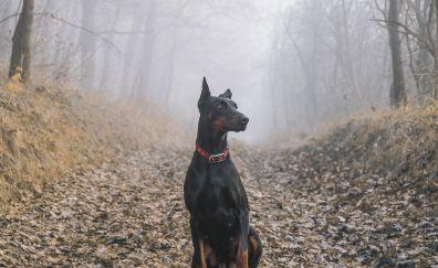 Dobermann pinscher, dog, outdoor, 4k