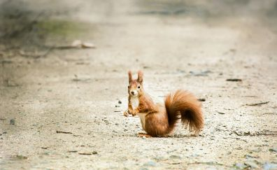Cute squirrel, rodent, animal