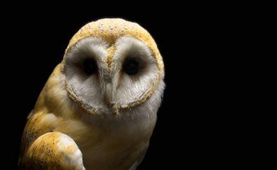 Barn owl, bird, predator, portrait