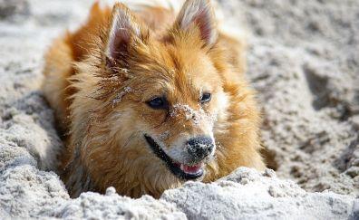 Shiba Inu, dog, play, pet