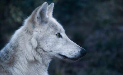 Wolf, predator, animal, muzzle, 5k