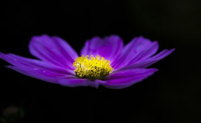 Clematis, blue flower, portrait, 5k