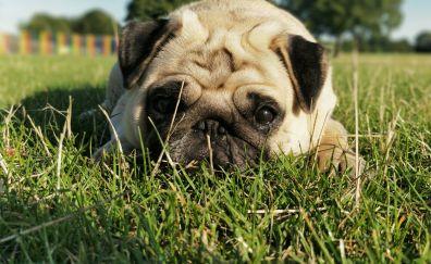 Pug, dog, cute pet, animal