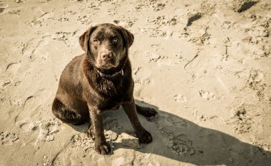 Labrador, dog, stare, play, beach, sand, 4k