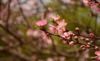 Peach blossom, pink flower, spring
