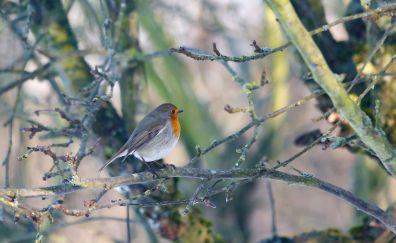 European Robin, bird, tree branch, cute