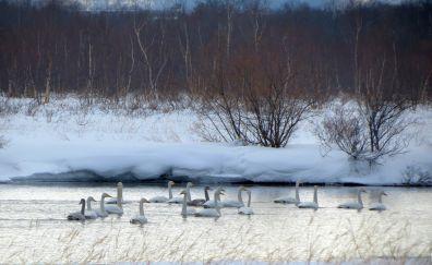Wild, goose, swim, winter, birds
