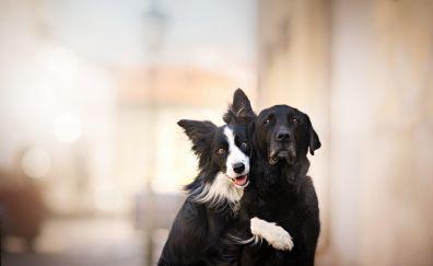 Dog, friends, outdoor, Border Collie, 4k