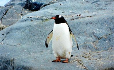 Penguin, water bird, animals, stand