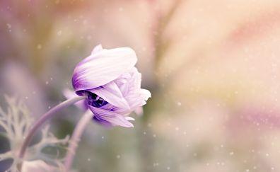 Anemone flower bud blur