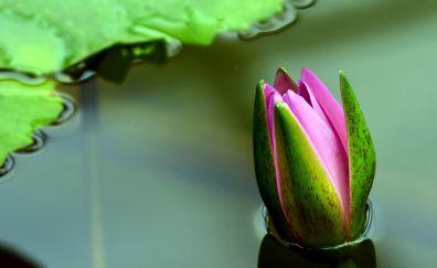 Water lily, pink bud, flower, lake