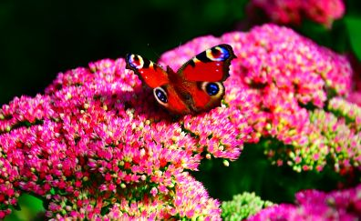 Peacock butterfly, beautiful insect, flowers