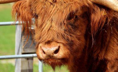 Furry cow, animal, horns