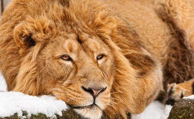 Beast, relaxed, predator, lion, 4k