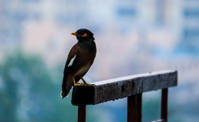 Myna, bird, sitting, blur