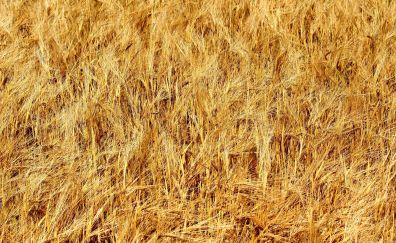 Golden wheat hay field