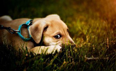 Blue collar, dog, puppy, amazed, grass