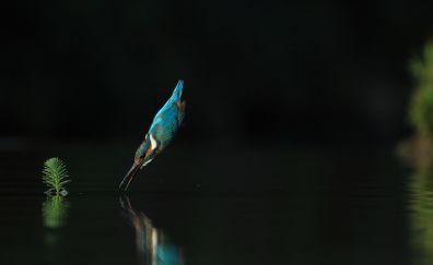 Kingfisher, jump, lake, reflections, bird