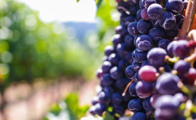 Grapes, blue fruits, bokeh