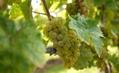 Green grapes, vine, leaf