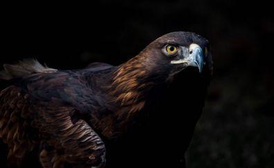 Golden eagle, curious, bird